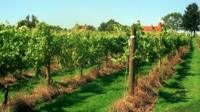 Vineyard in southern England