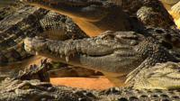 Australia's Saltwater Crocodiles