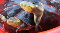 Animal smugglers in Taiwan have grown increasingly daring in their efforts to snatch endangered turtles
