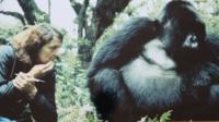 Dian observing a gorilla