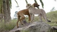Ruuxa the cheetah and his friend Raina the dog