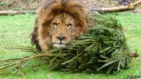 Zuri the lion with Christmas tree