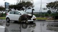 Emu in road