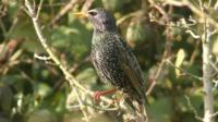 Starling - numbers have declined by 84% since the first survey in 1979