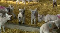 Lambs in Shropshire farm