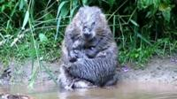 A beaver on the river Otter