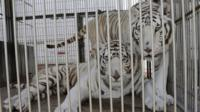 Tigers in Mexico