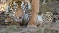 Tigress Kirana had the triplets in January