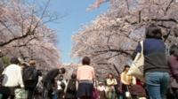 cherry trees and tourists