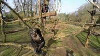 The chimp that doesn't like drones