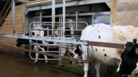Cows waiting to use the robot