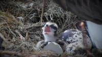 Ospreys egg hatches