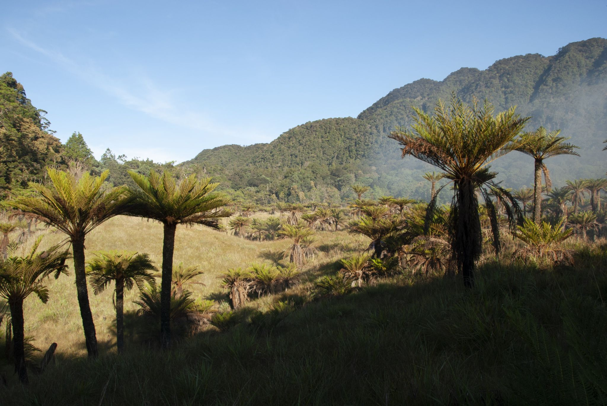 Tree ferns in the Cromwell Mountains of Papua New Guinea