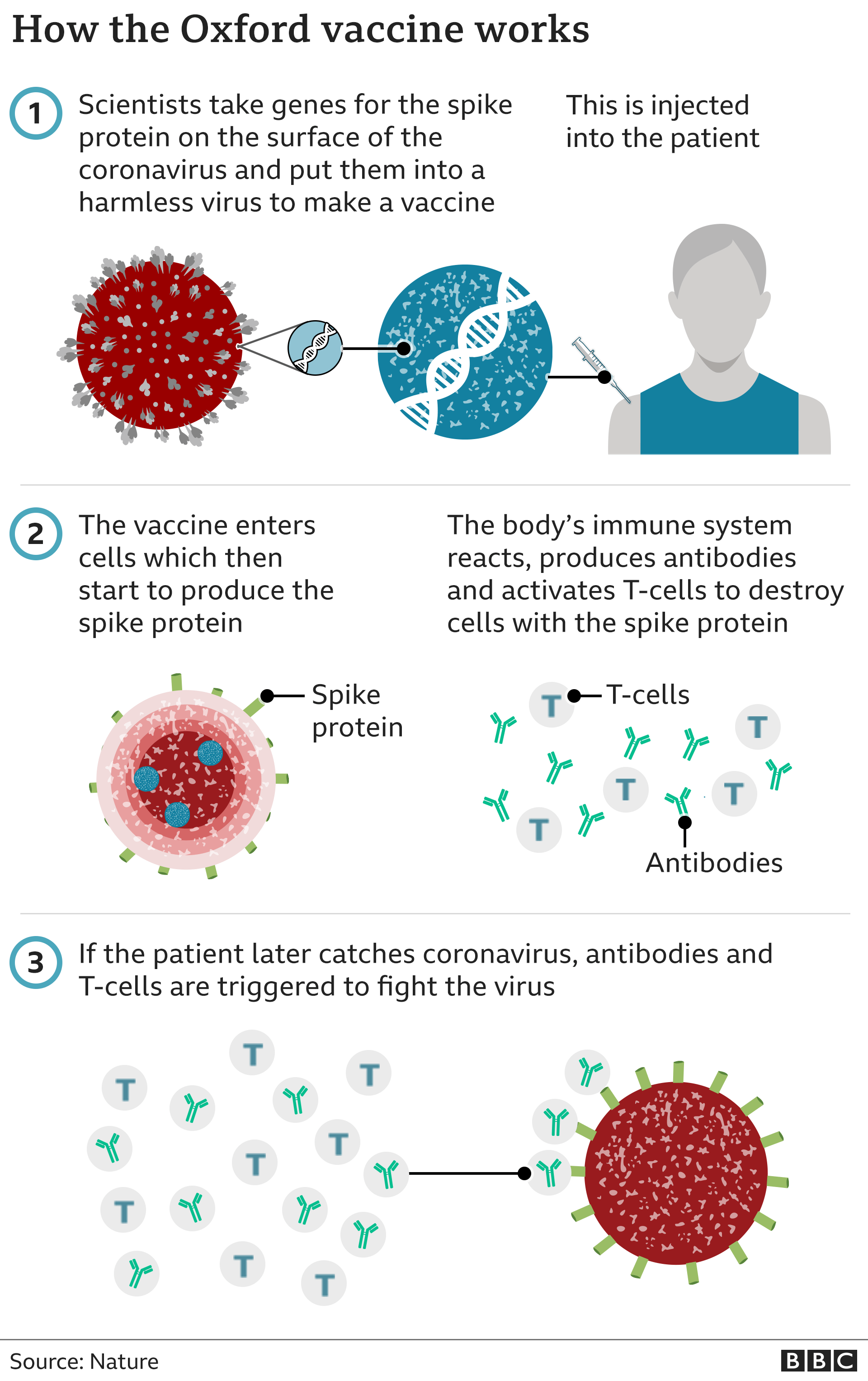 How a viral vector vaccine works -scientists take genes for the spike protein and put them into a harmless virus to make a vaccine, which is then injected into the body. The vaccine mimics the coronavirus and the body's immune system reacts by making anti bodies and t - cells. If a person encounters the virus this triggers an immune response.