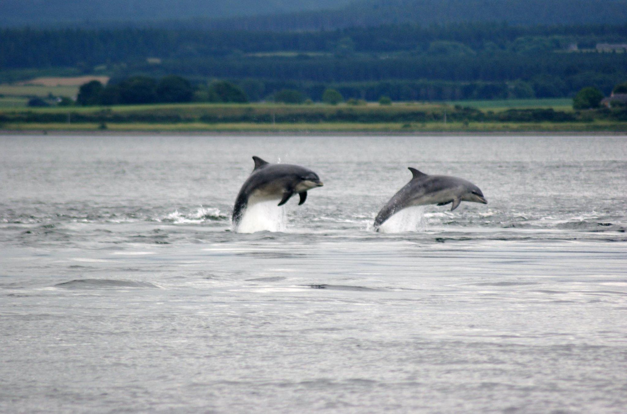 Dolphins at Chanonry Point