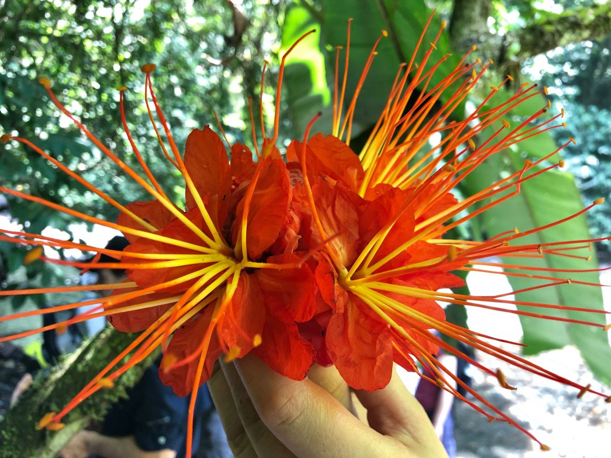 Red and yellow tropical flower. Palo cruz, Brownea macrophylla.