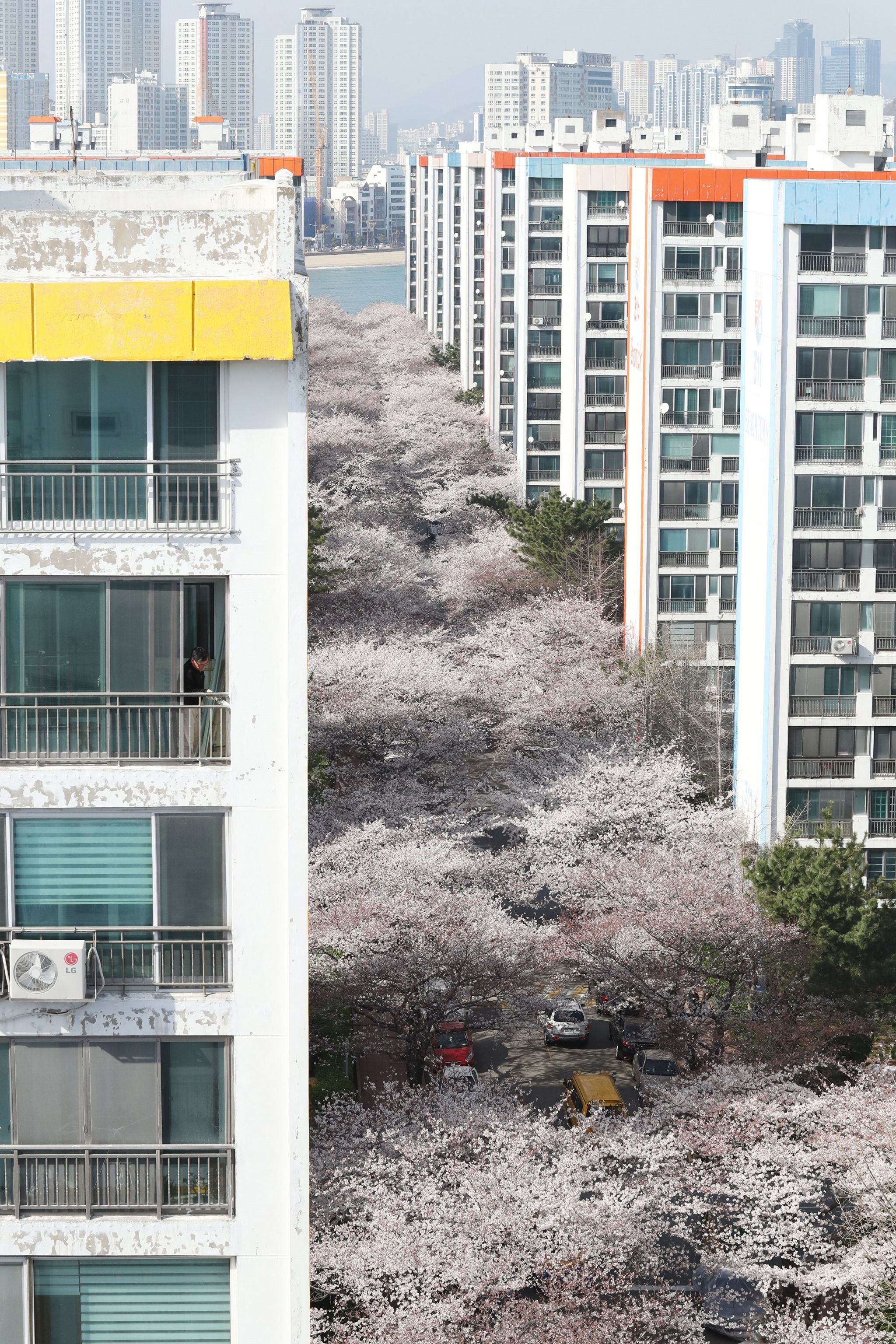 Cherry blossom trees in Busan, South Korea, 28 March 2018