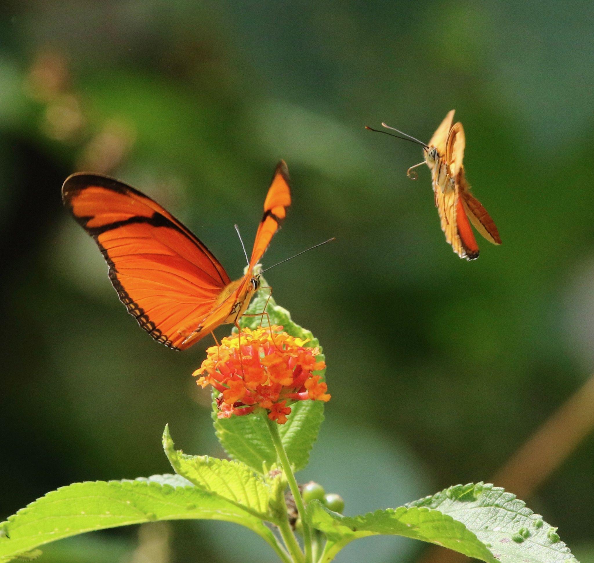 Julia heliconian butterflies, Dryas iulia, feeding on nectar