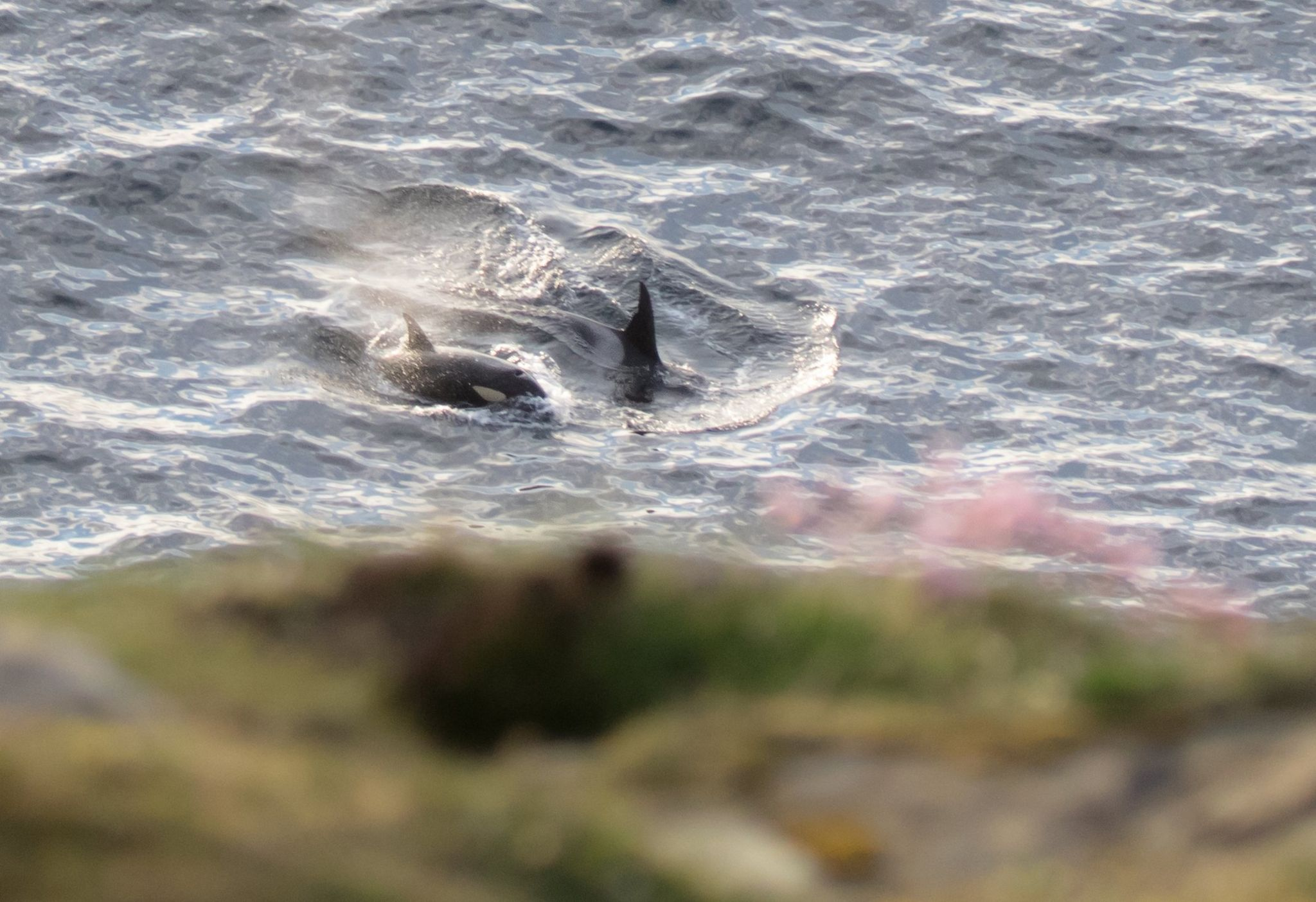 Orcas Mousa and Tide passing below Dunnet Head