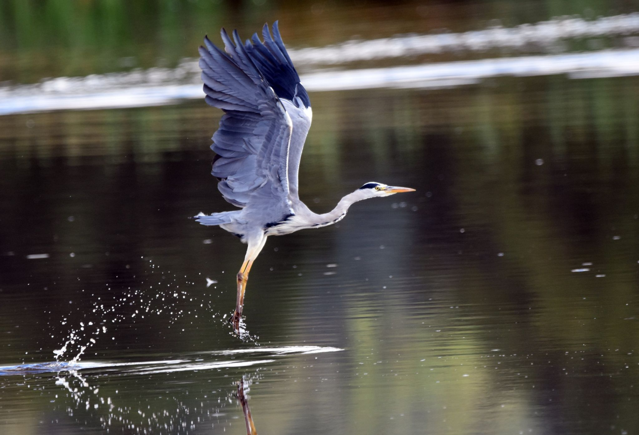 Heron taking off from Letham Pools, Fife. Steve Buckland, from Cupar