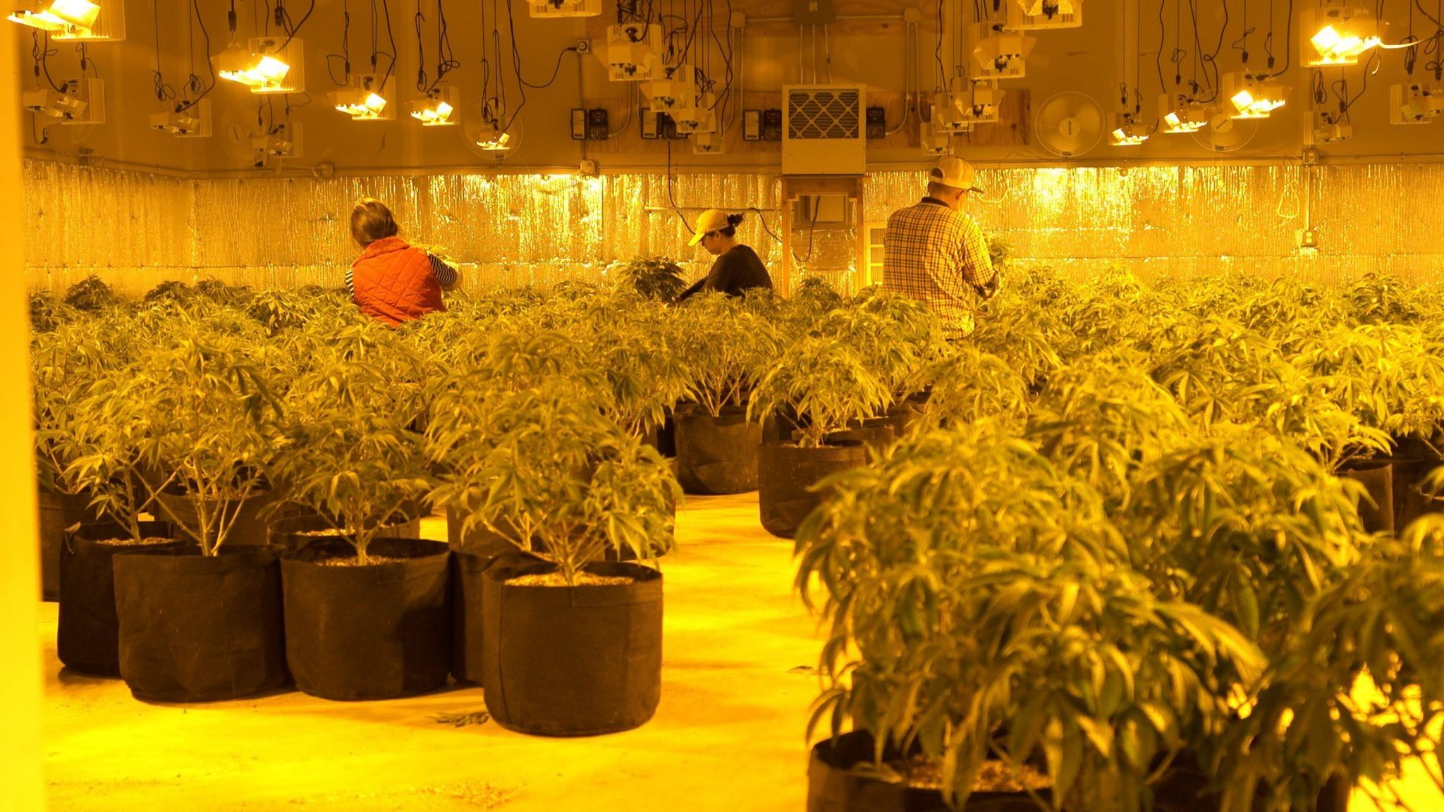 Chinese workers on a cannabis farm