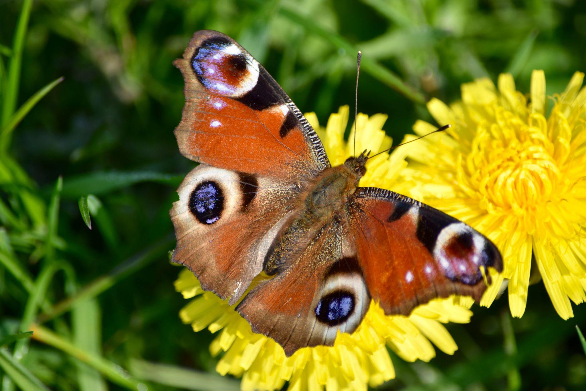 A Peacock Butterfly on a yellow flower