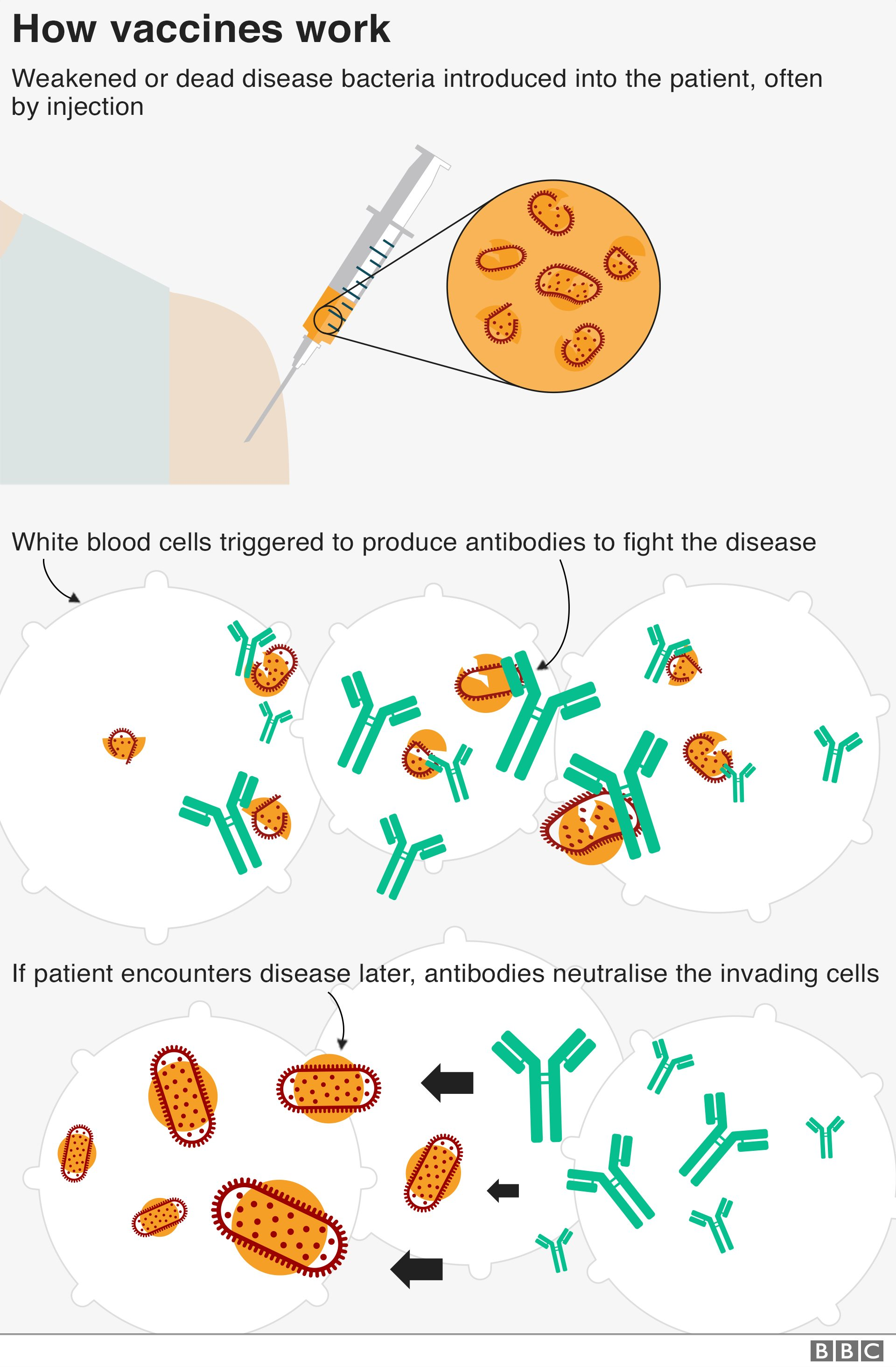 Text: How vaccines work? Weakened or dead disease bacteria introduced into the patient, often by injection. White blood triggered to produce antibodies to fight the disease. If patient encounters disease later, antibodies neutralise the invading cells.