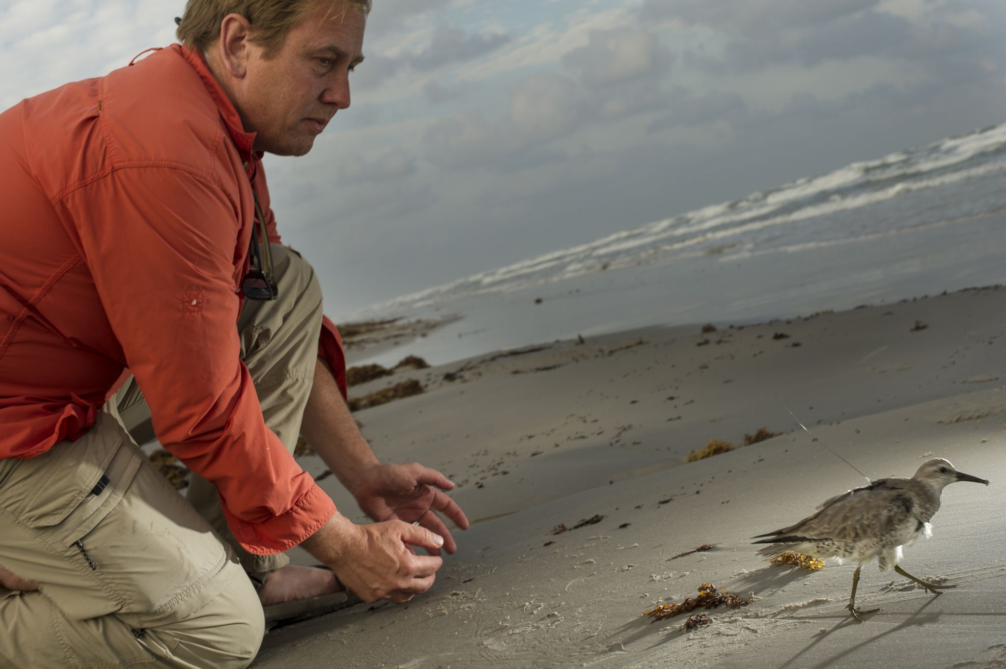 Peter Marra releasing a red knot bird after tagging it in Texas