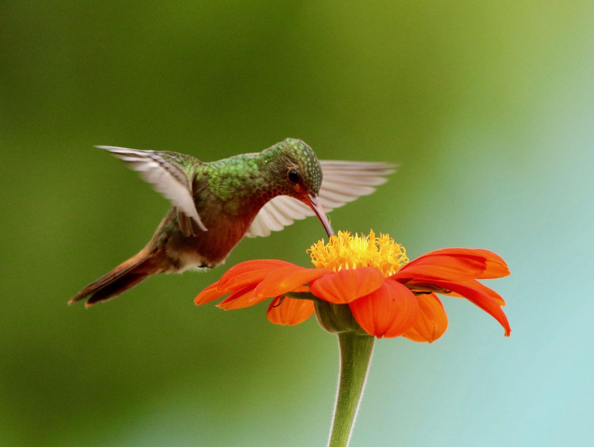 Rufous-tailed Hummingbird, Amazilia tazacatl, feeding on Mexican sunflower.