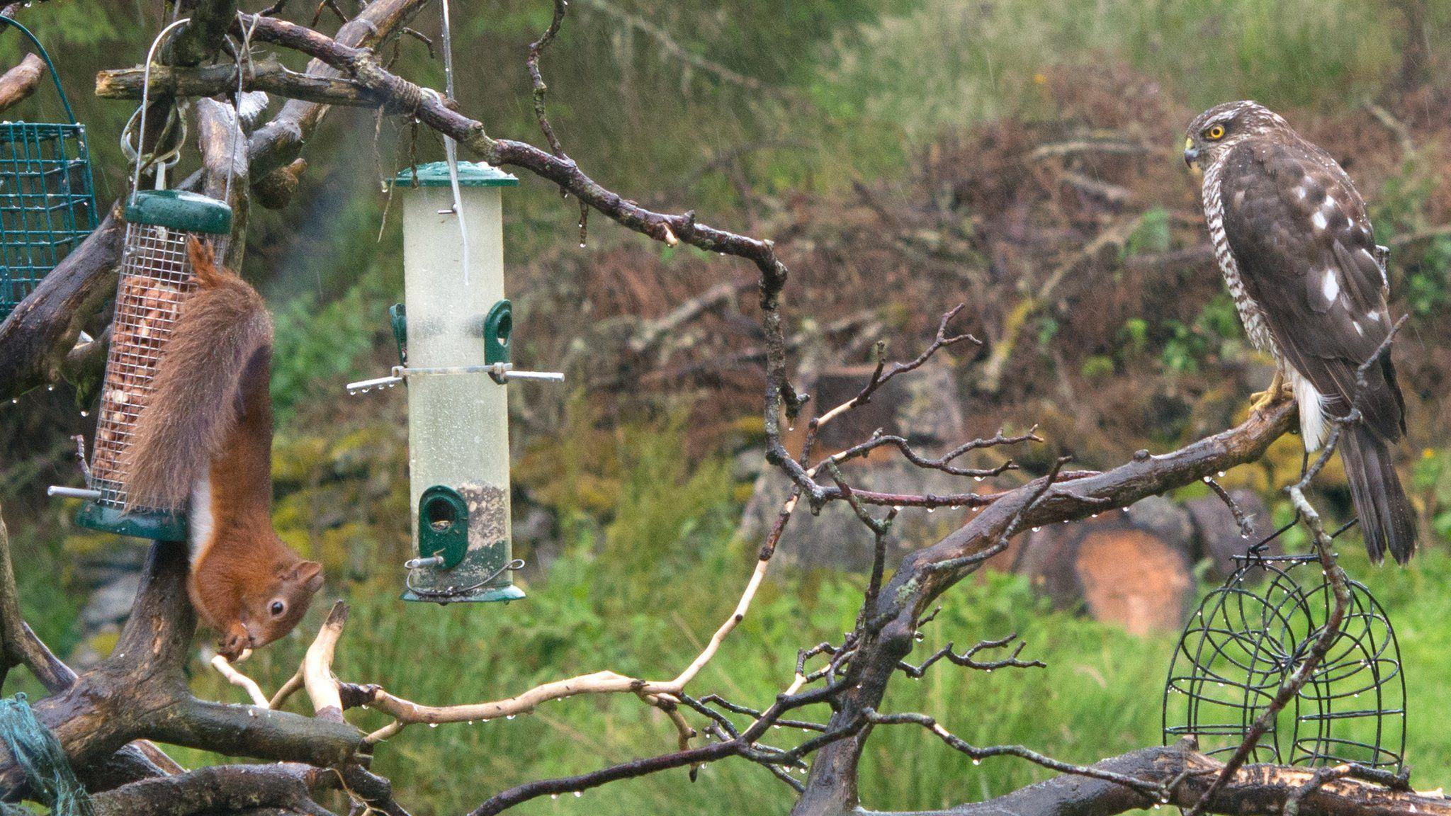 Squirrel versus sparrowhawk