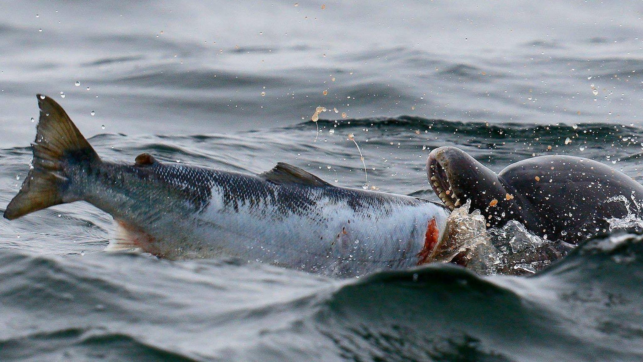Bottlenose dolphin catching salmon