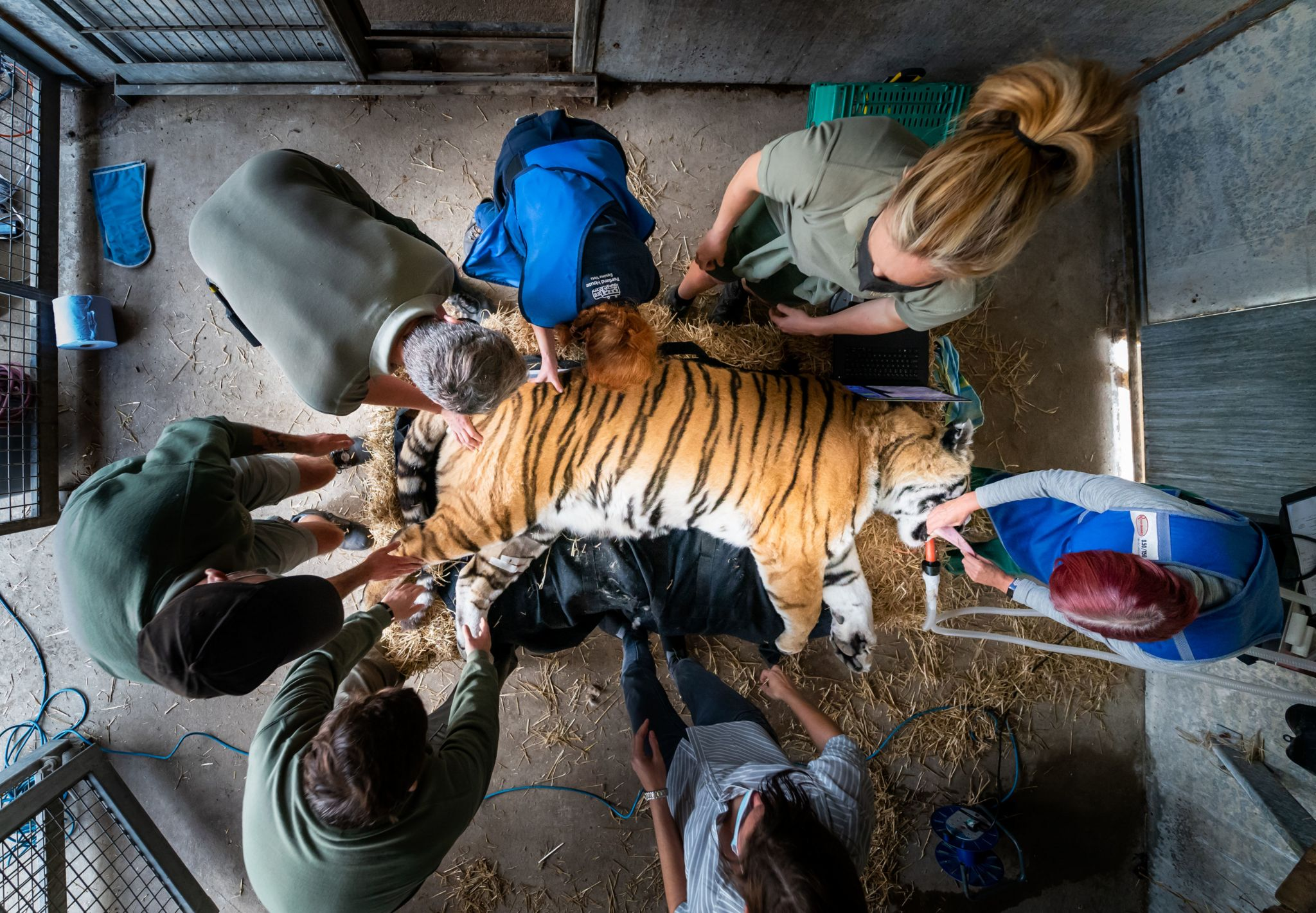 Vlad the tiger undergoing medical procedure