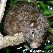 Hutia (Jose Nunez-Mino)