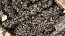 bbc.co.uk - Thousands of bees found in hospital roof