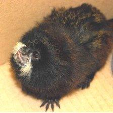 One of the 18 titi monkeys recovered by Mexican customs