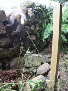 Live badger caught in snare
