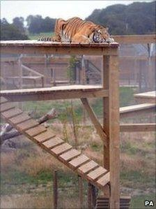 Tanvir the tiger on top of his climbing frame