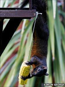 Black squirrel in garden in Bedfordshire (Simon George on Flickr)