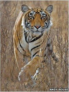 Andy Rouse's award-winning tigress photograph
