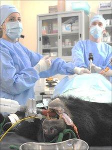 Bear having surgery