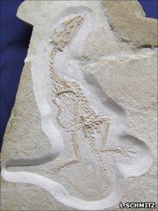 Juravenator starki fossil (L Schmitz)