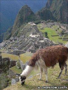A llama grazes near Machu Picchu