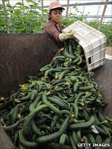 Cucumbers at a farm near Almeria, Spain