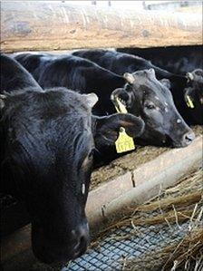 Cattle feed on straw which have been declared safe by the Fukushima prefectural government