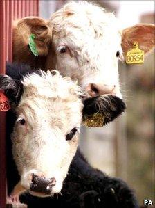 Cattle