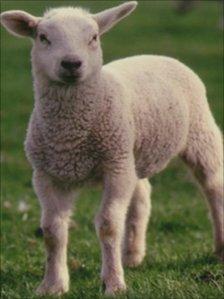 Lamb (generic)
