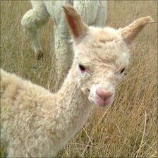 The returned alpaca at the farm in Hartlip, Kent