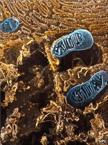 Scanning electron micrograph of mitochondria (SPL)