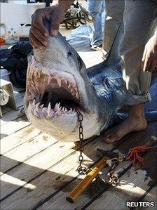 Official picture of shark