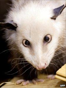 Picture taken on 14 December 2011 shows cross-eyed opossum Heidi in her enclosure at the zoo in Leipzig, eastern Germany